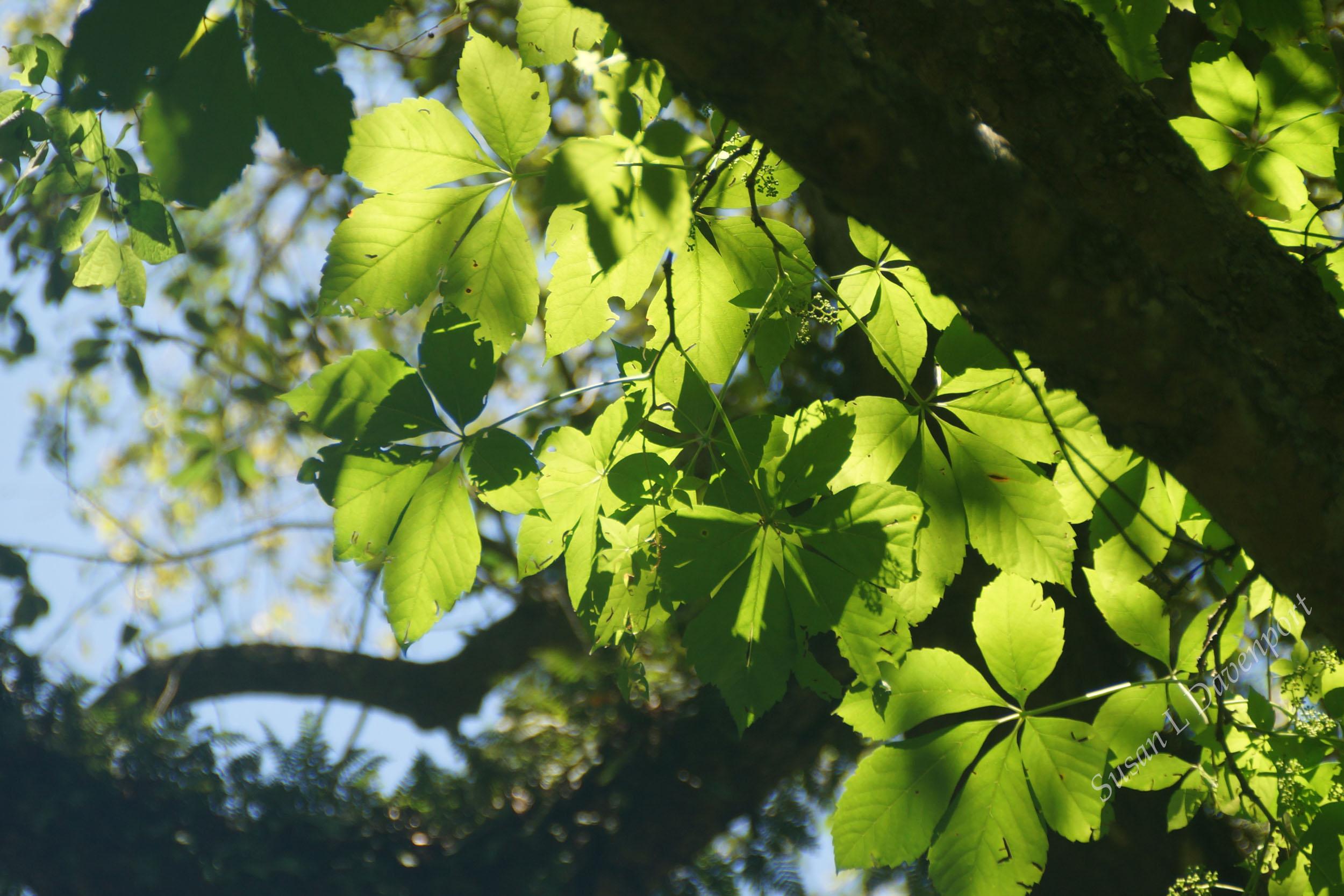 Back-lit Leaves - Photo by Susan L. Davenport