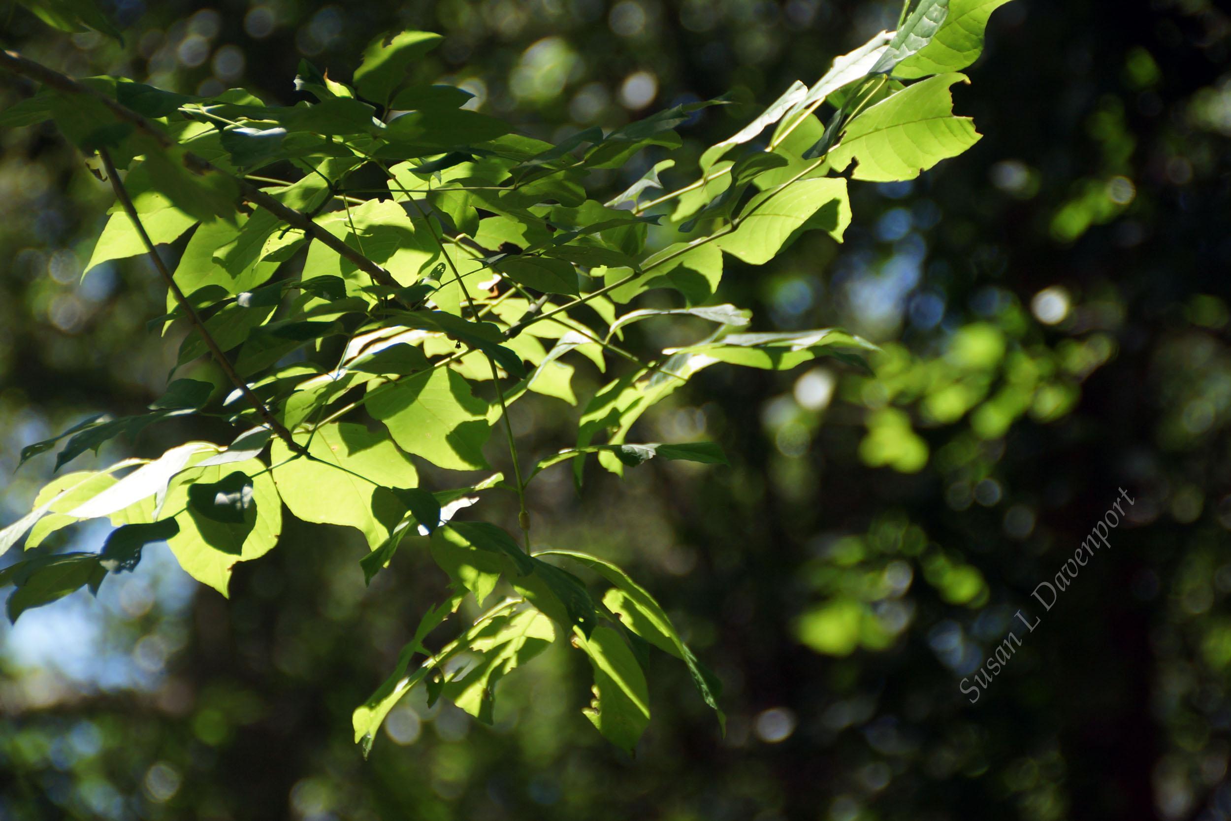My Backyard: Sun in the leaves