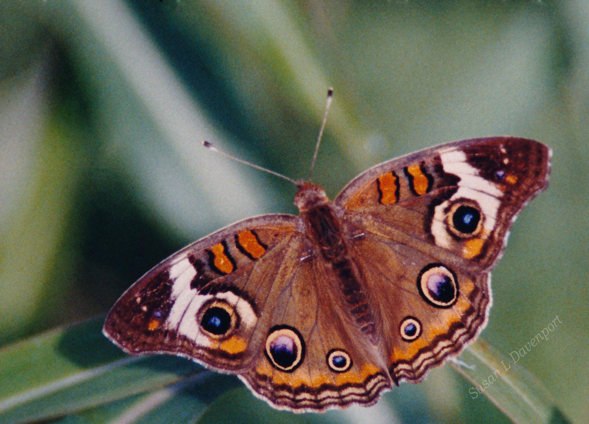 Common Buckeye - Photo by Susan L. Davenport
