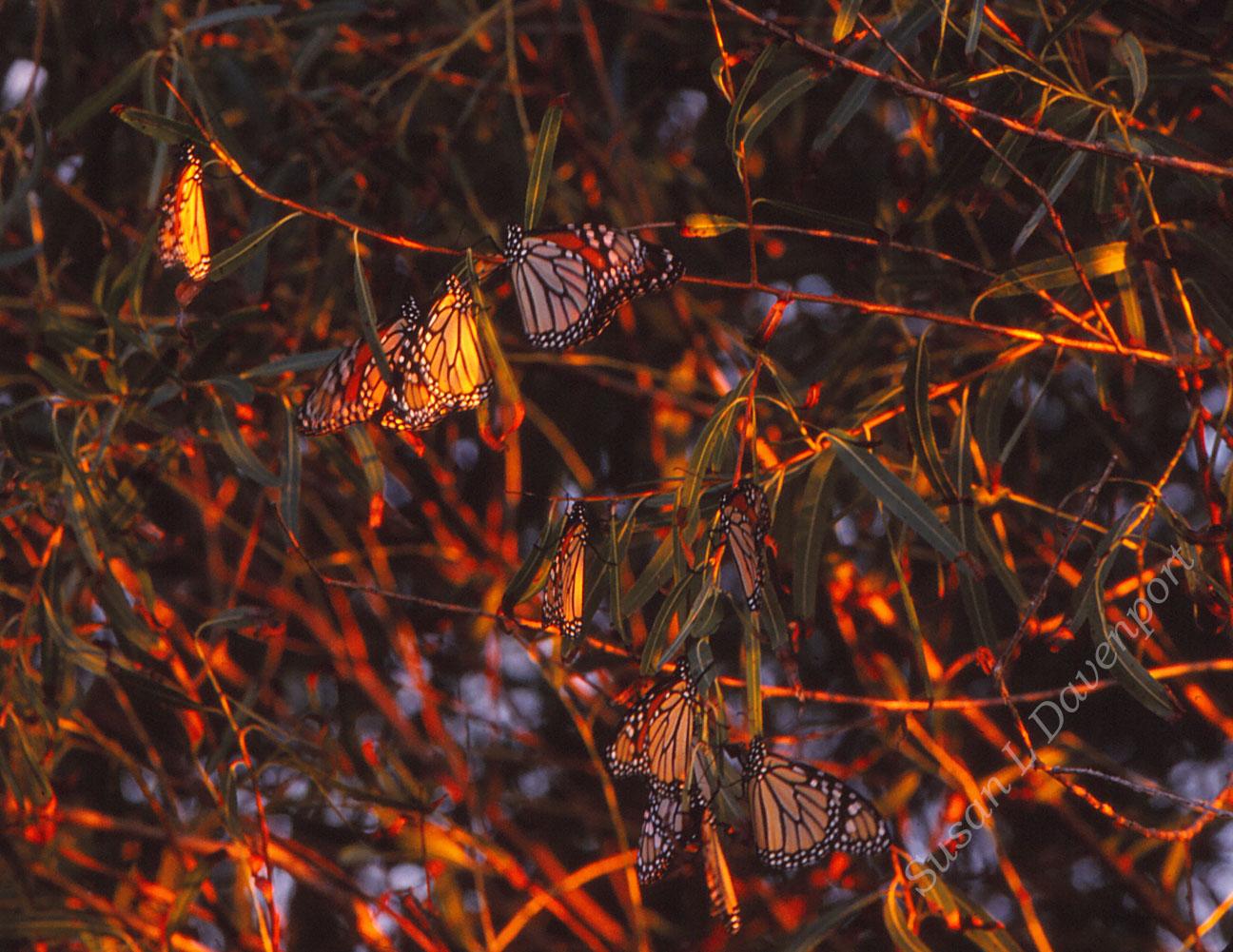 Migrating Beauties - Photo by Susan L. Davenport