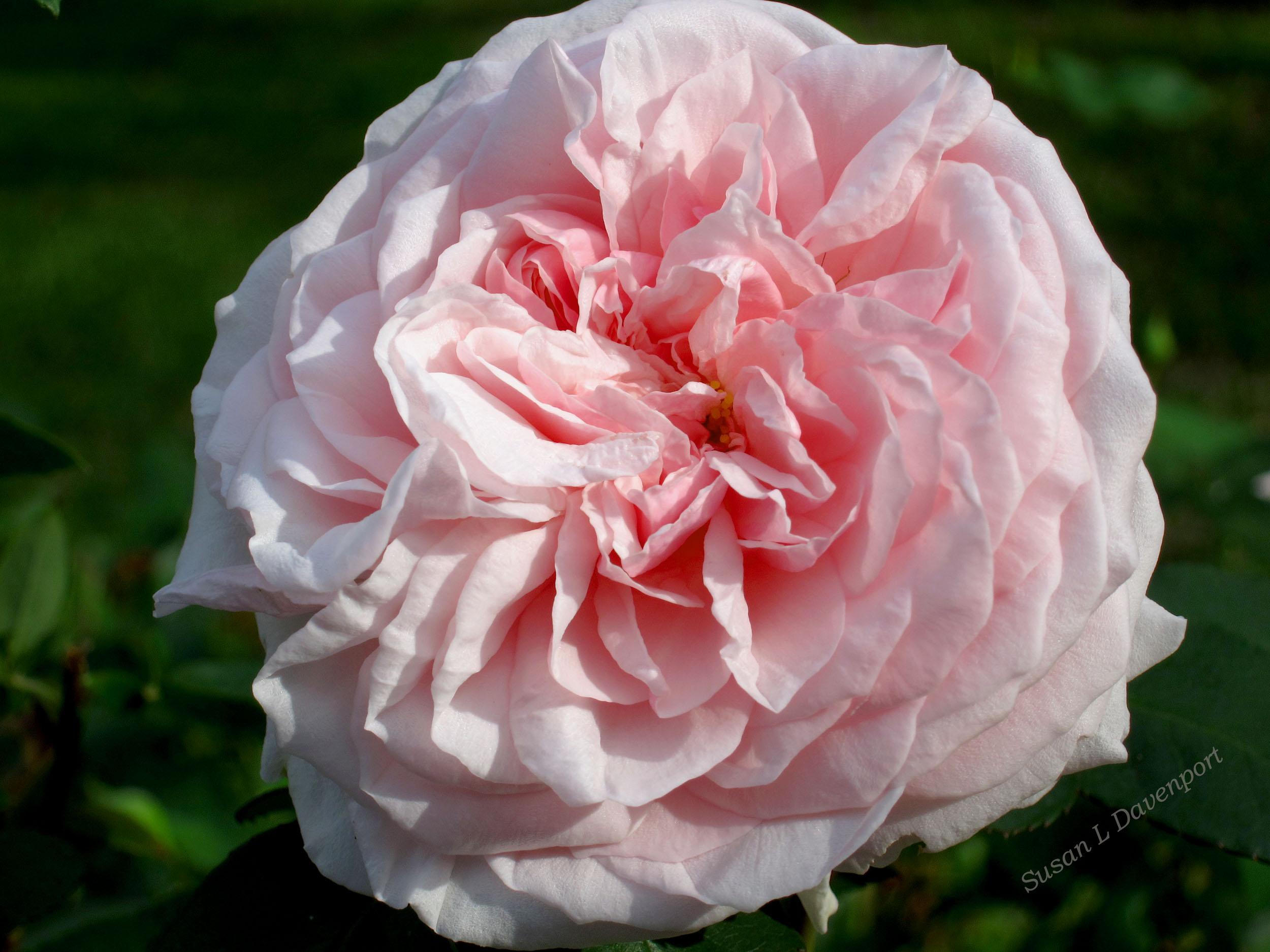 Soft Pink Velvet - Photo by Susan L. Davenport