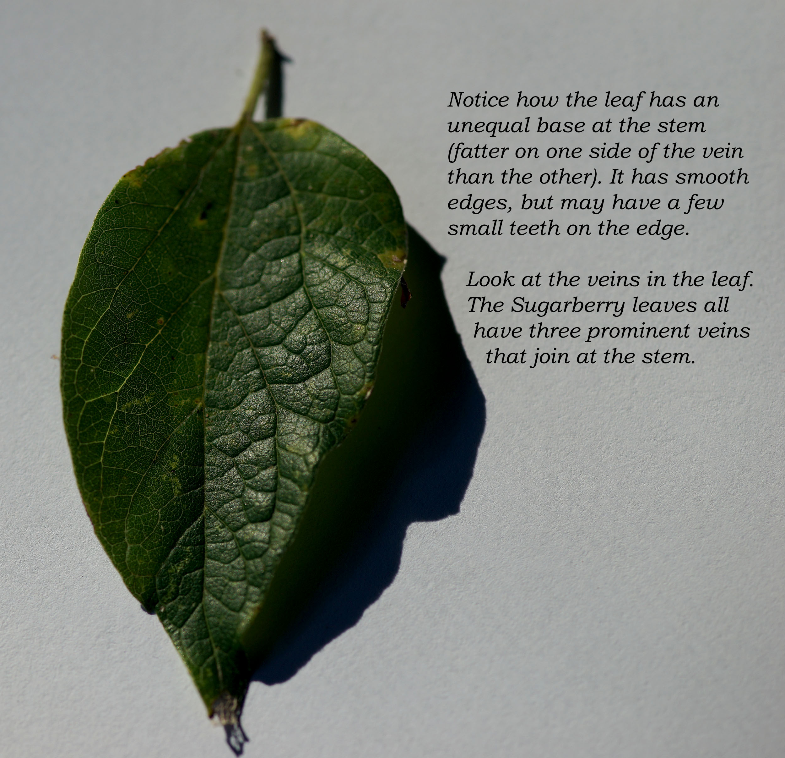 Leaf Identification - Photo and Graphics by Susan L. Davenport