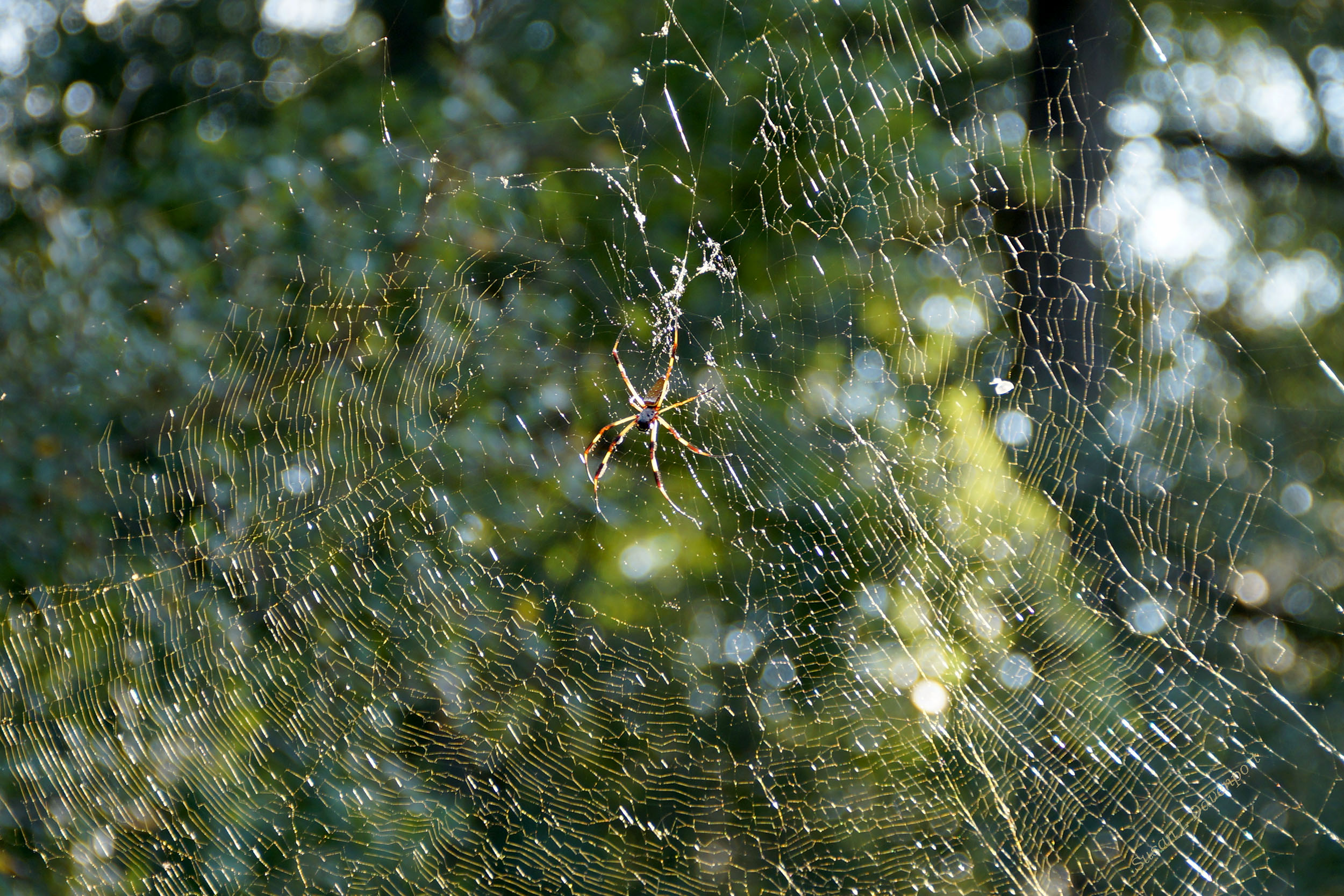 Golden Orb Spider: Web shining gold