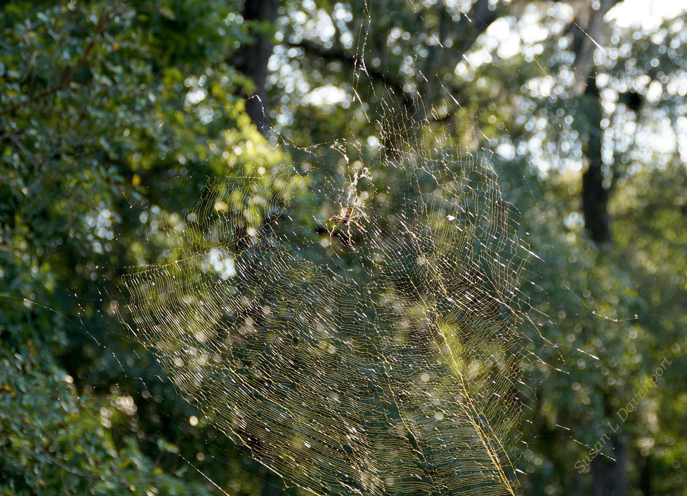 Golden Orb Spider: Sunlight on gold