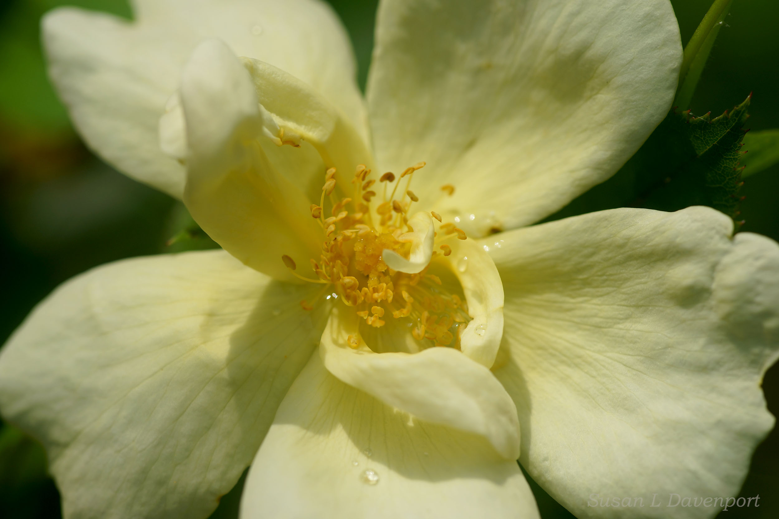 Yellow Rose After a Rain - Photo by Susan L. Davenport