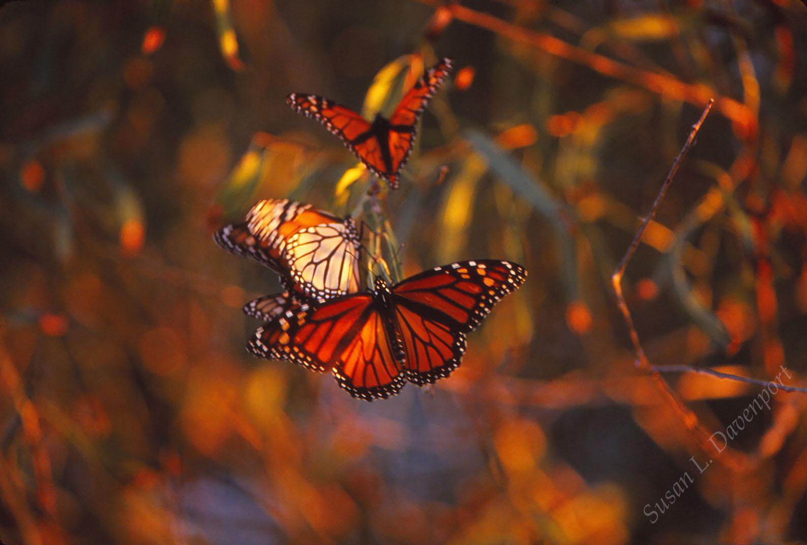 Monarch Migration, San Bernard Game Preserve - Photo by Susan L. Davenport