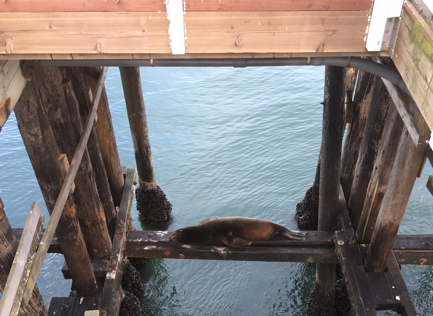 You can often see sea lions lounging and napping under the Santa Cruz Wharf.