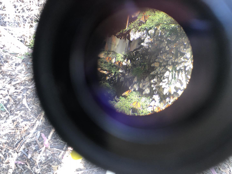 Monarch Butterflies at Natural Bridges can be seen close up through a telescope.