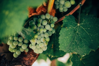 Green grapes on a grapevine with green leaves ready to make white wine at vineyard