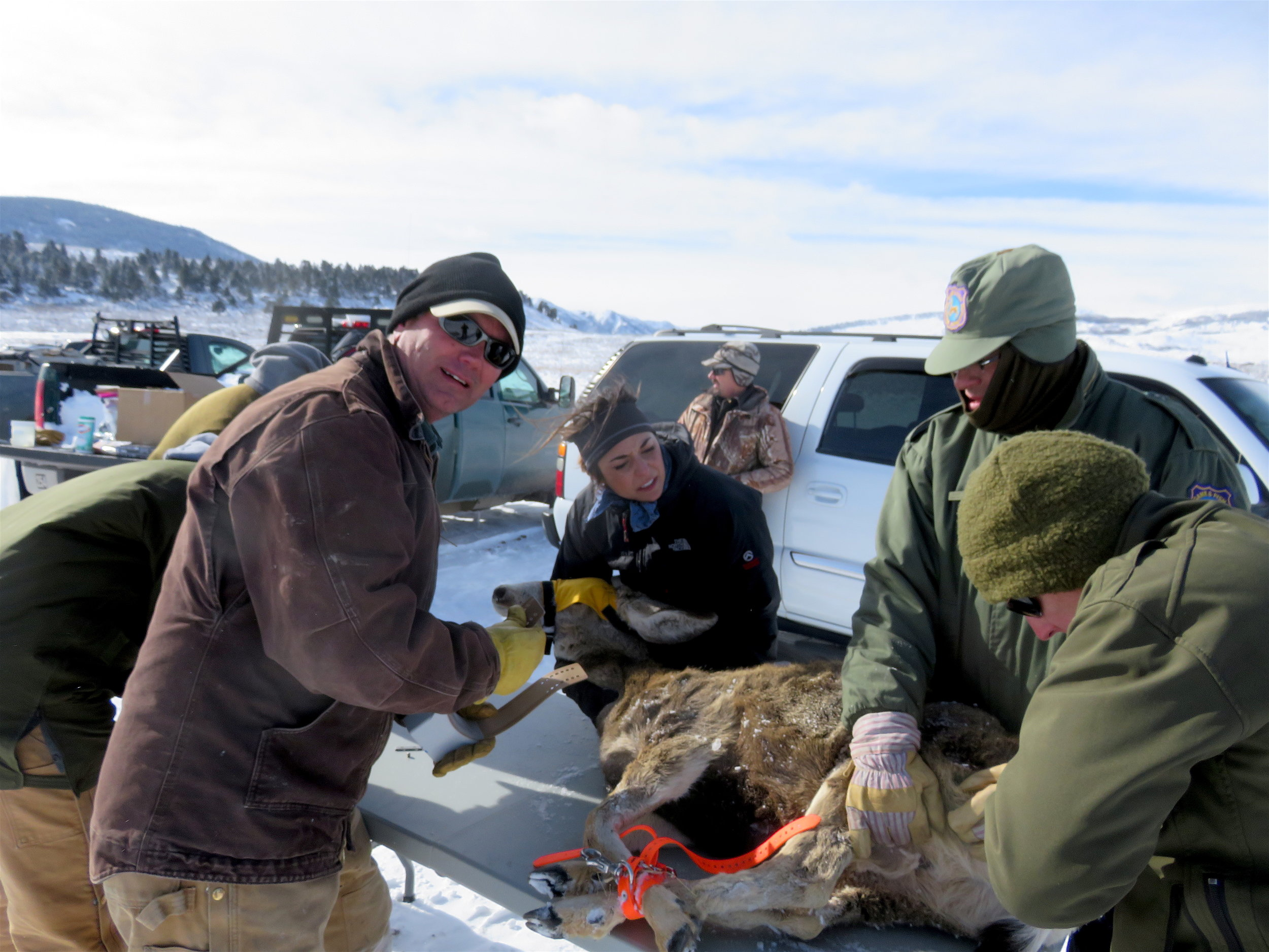 Jim Wright, BLM wildlife biologist, collars a mule deer as part of a study with the Wyoming Game and Fish Department in the same area as this project.