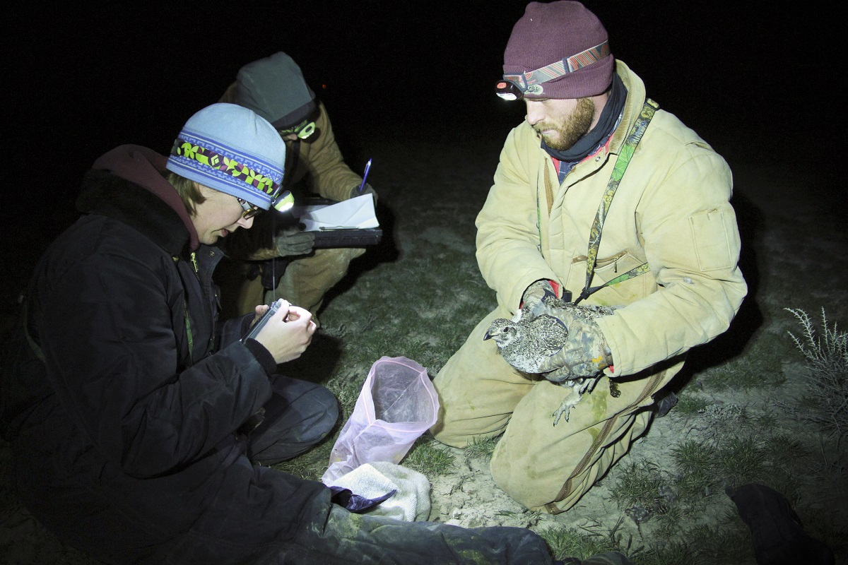 studying sage grouse through radio telemetry.jpg