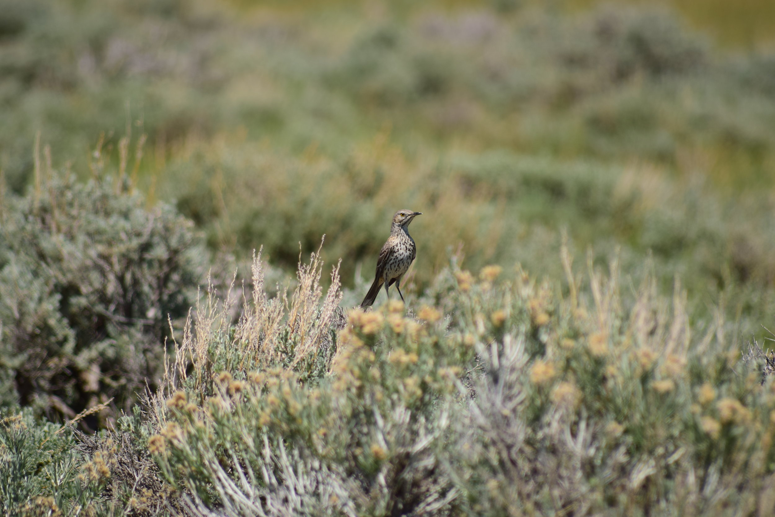 A sage thrasher (Oreoscoptes montanus). Populations of sage thrashers, another bird species that depends on healthy sagebrush-steppe, are expected to increase as the result of juniper removal near Rome Hill.