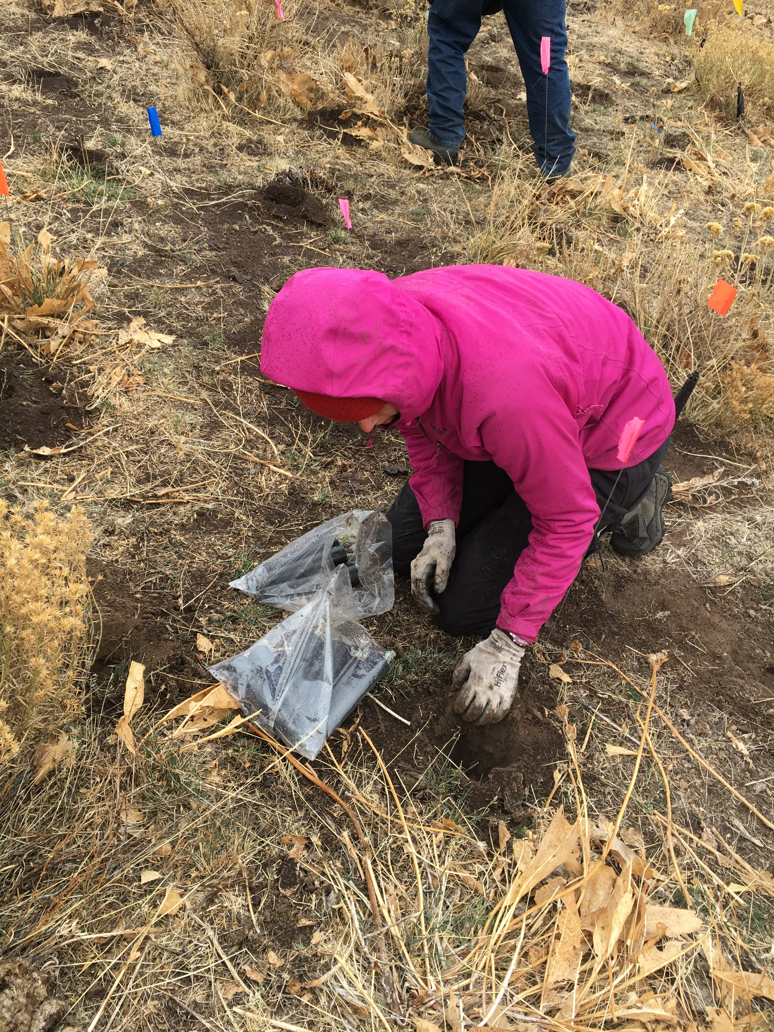 Zell and her fellow interns brave sagebrush country in November to plant sagebrush seedlings in an area that had recently burned.