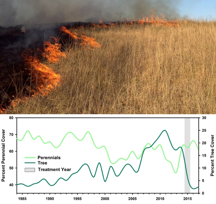 This graph, produced by RAP, illustrates how vegetation responded to a prescribed fire in Nebraska in 2015, which was designed to remove encroaching conifers to improve forage for livestock and wildlife. It shows that average tree cover decreased from 18% to 2% post-fire, making more room for perennial grasses and forbs.