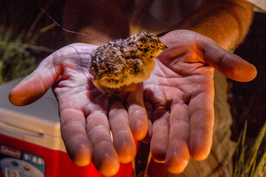 Tagged sage grouse chick photo by Kenton Rowe