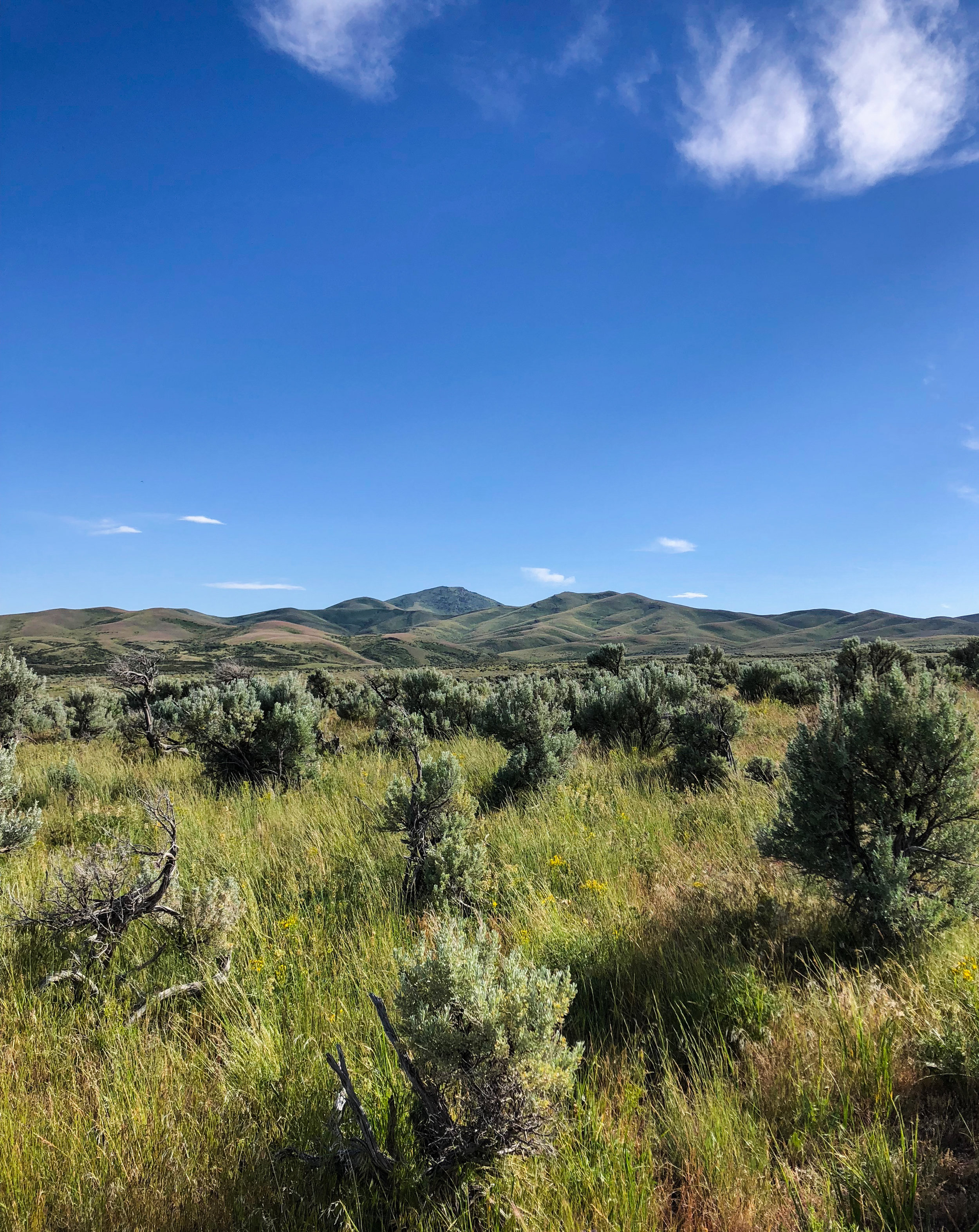 Healthy sagebrush stands with perennial bunch grasses make ideal sage grouse nesting habitat, as long as the cheatgrass is kept in check.