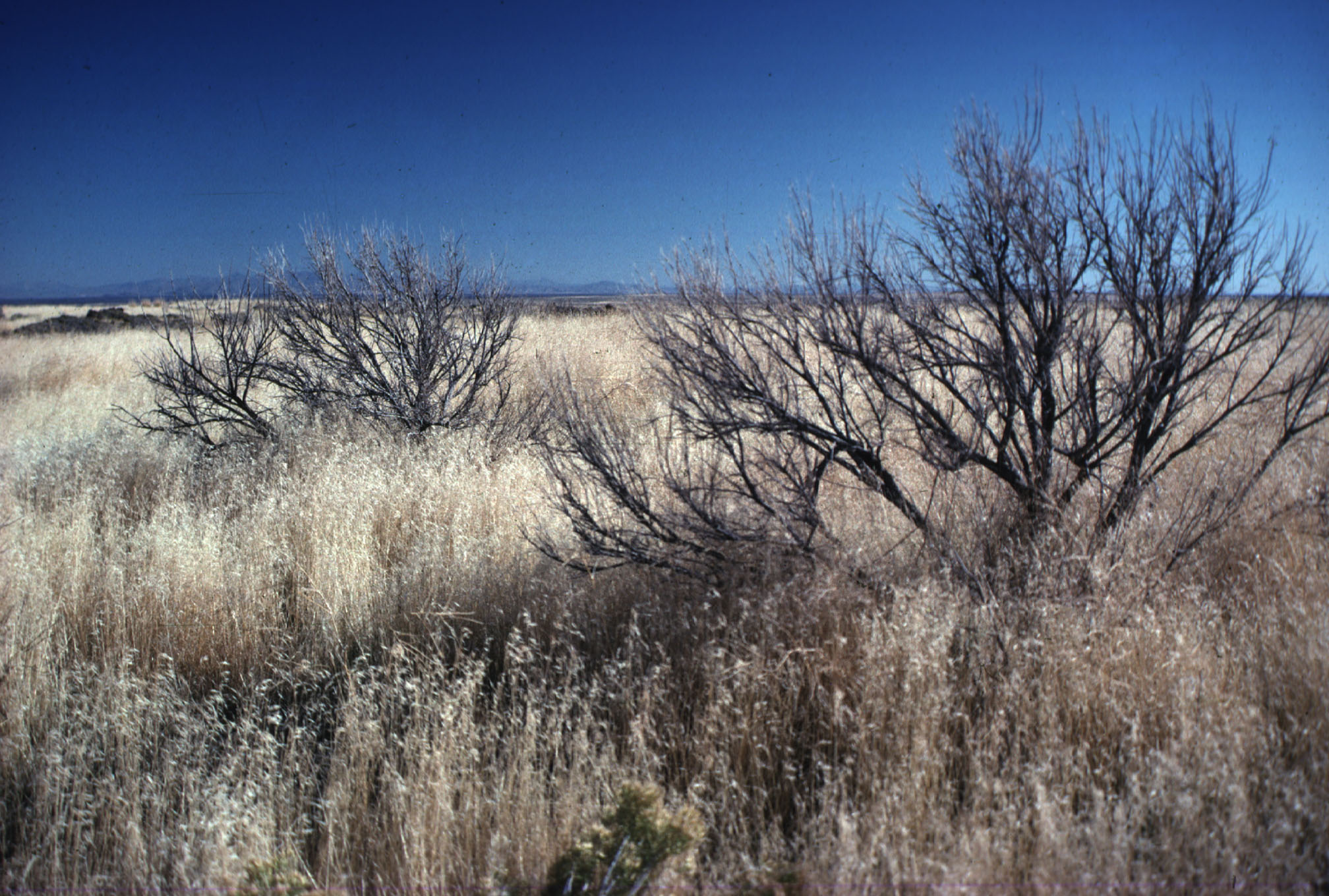 Burned sagebrush skeleton surrounded by cheatgrass. Photo by Mike Pellant.