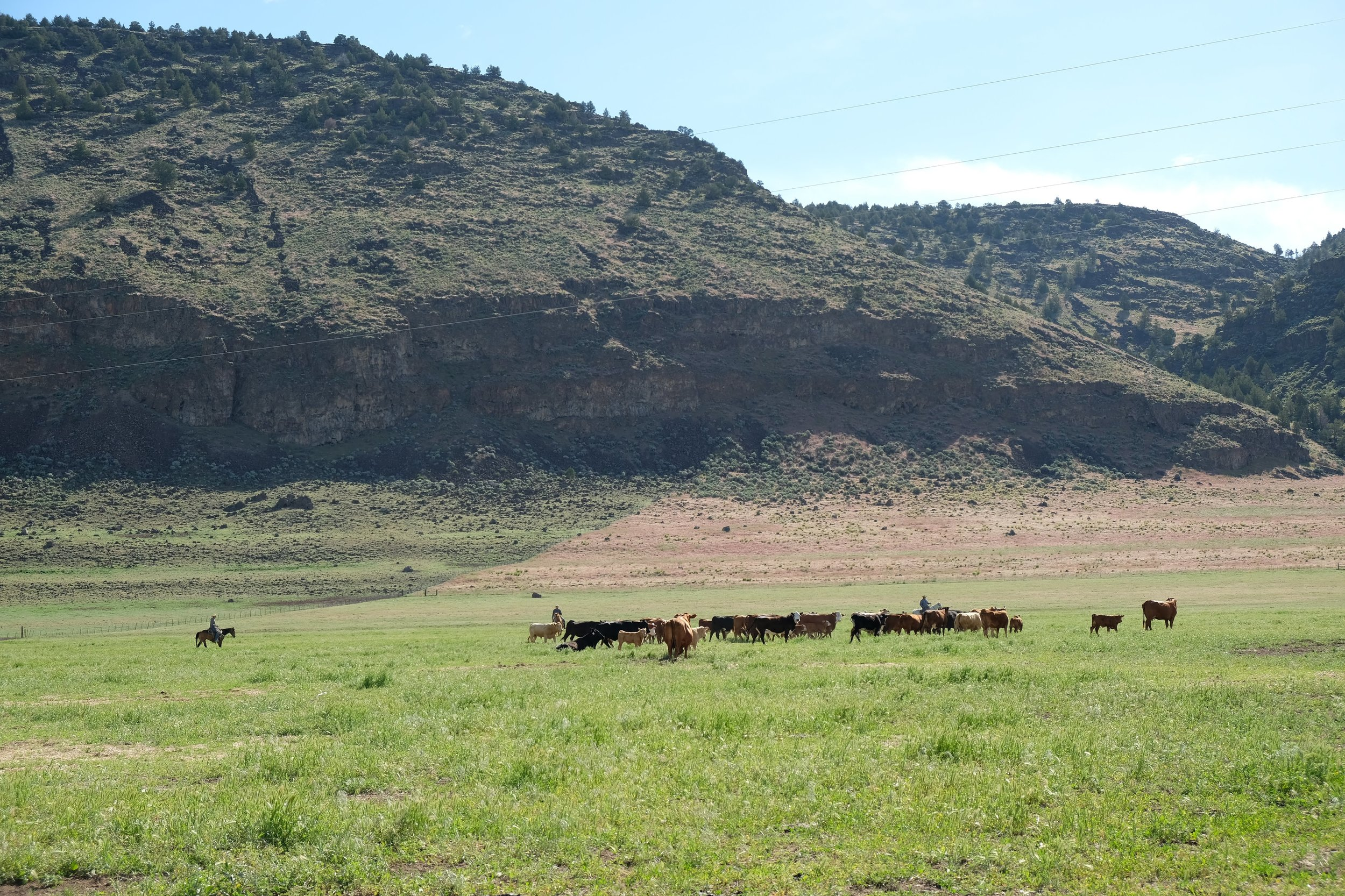 Low-stress Livestock Handling (LSLH) techniques in practice at the training held at Roaring Springs Ranch, June 2019.