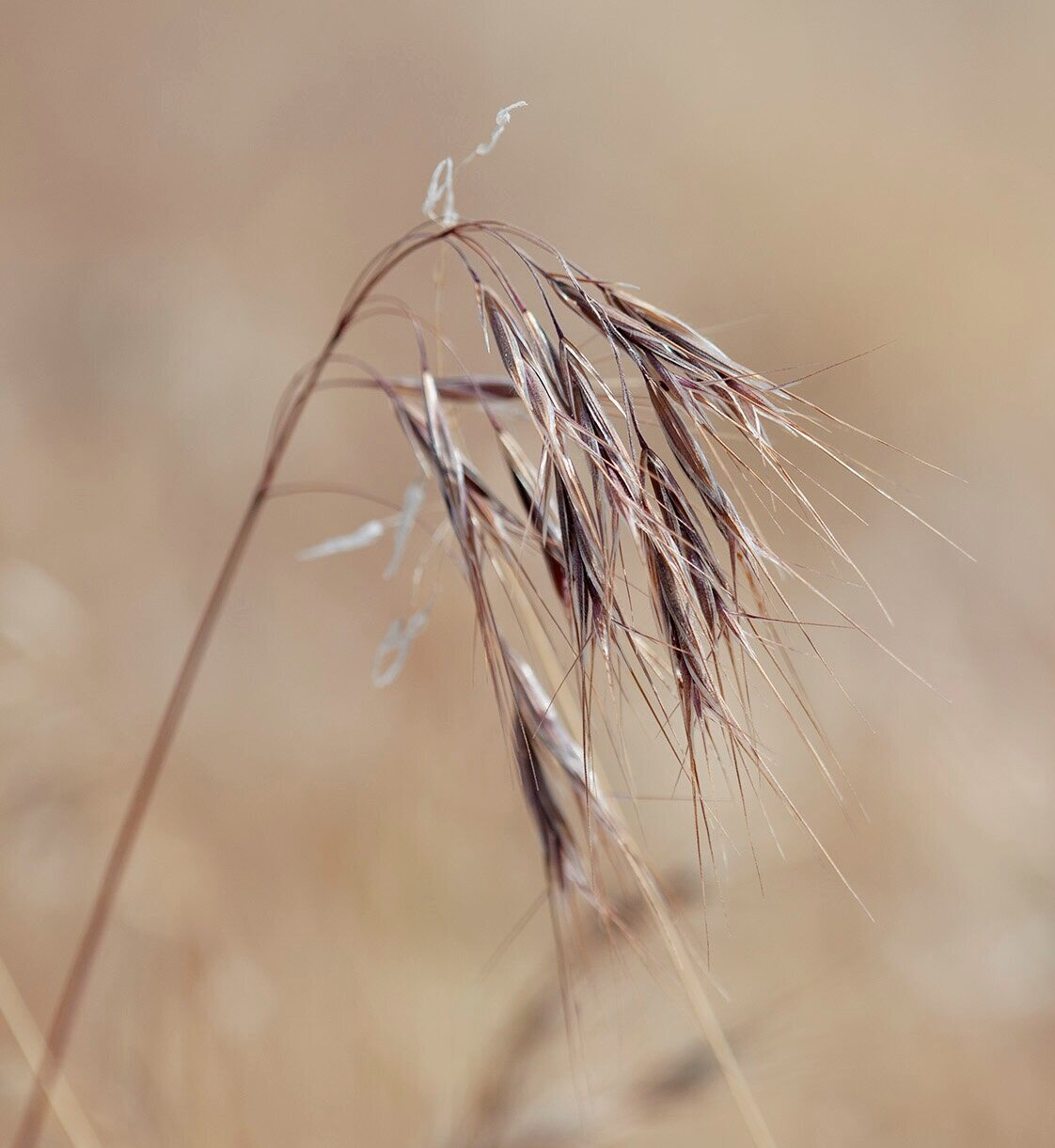 """Cheatgrass is sometimes called """"grassoline"""" due to how fast a fire can ignite and race across this fine fuel."""