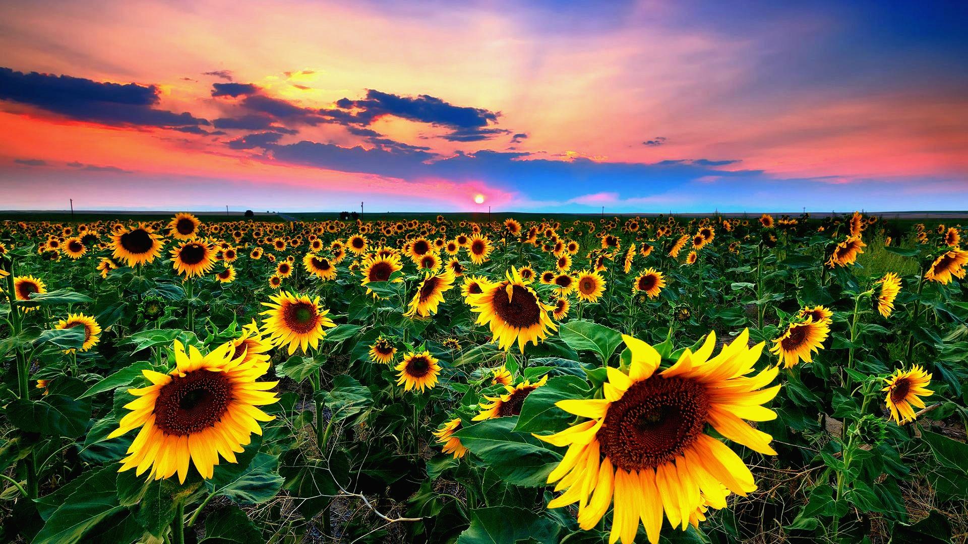sunflowerscontrast.jpg