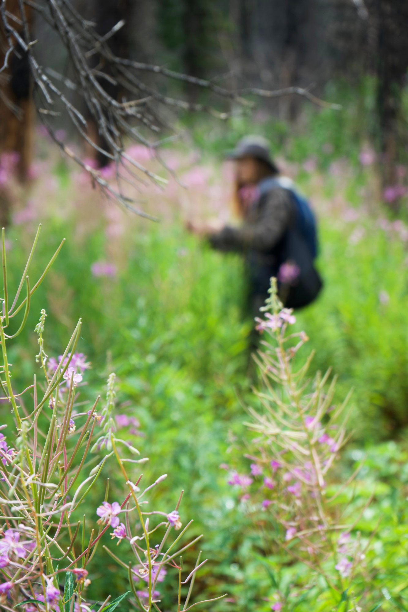 fireweed 17 small.jpg