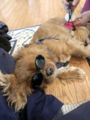 Dash enjoyed his in-home therapeutic laser session following his exercises. At the time of this picture, he was several weeks post MRIT operation. We are very proud of him and his family for continuing to meet the goals we set for him.