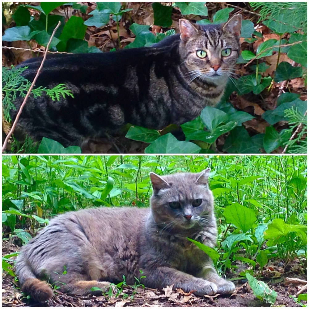 Two feral cats helped by GNHCP's TNR programs