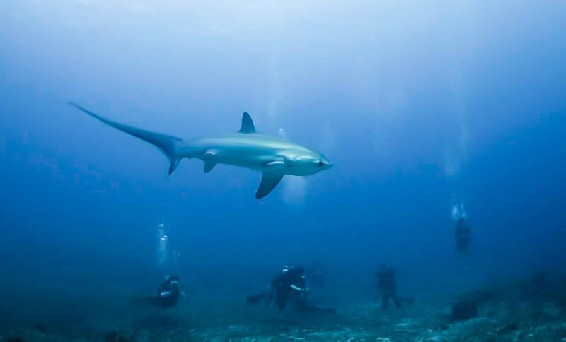 THRESHER SHARK WITH SCUBA DIVERS