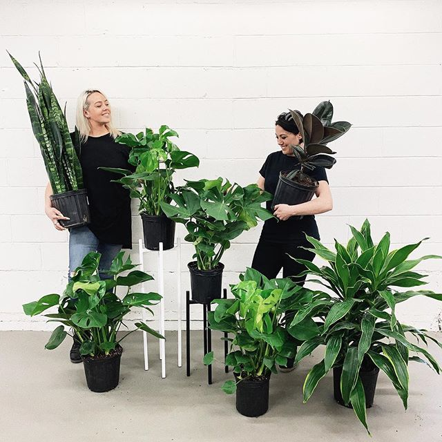 So excited to announce that I have partnered with Amelia @paintanddecorconcepts as a plant consultant! We received our first plant order today - head into the store to get your hands on these babies! Contact me today if you're looking for certain plants or want help with choosing the right plants for your space!