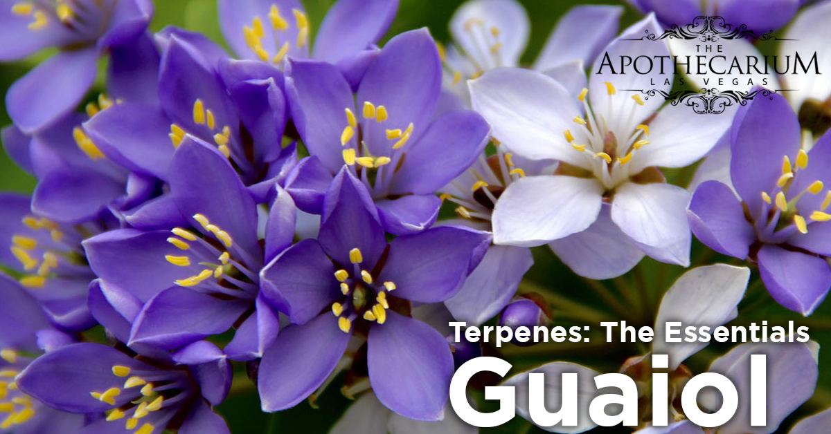 the apothecarium las vegas a recreational and medical cannabis dispensary discuss guaiol a terpene