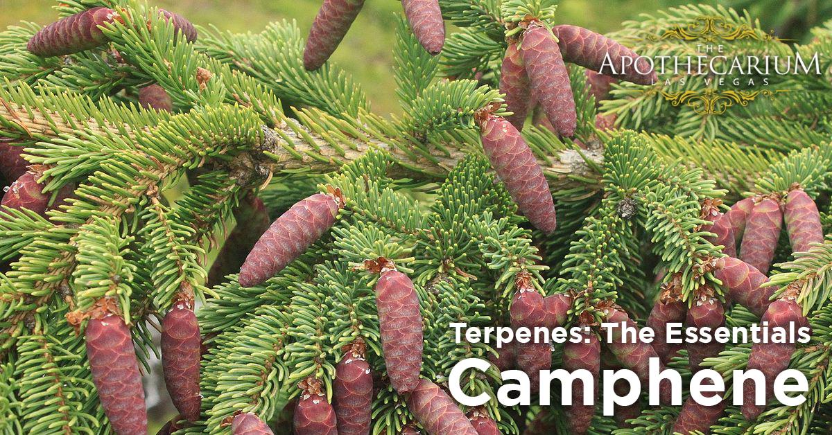 the apothecarium las vegas a legal nevada dispensary discusses camphene a terpene often found in marijuana