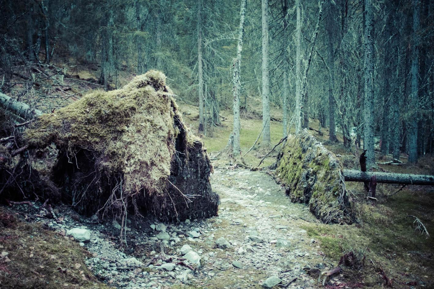I skogen ned mot Flatdal har naturen styrt selv, og når de gamle granene velter, får de hvile der de lander.