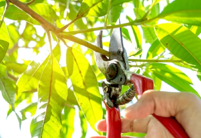 bigstock-Pruning-Trees-With-Pruning-She-235202629.jpg