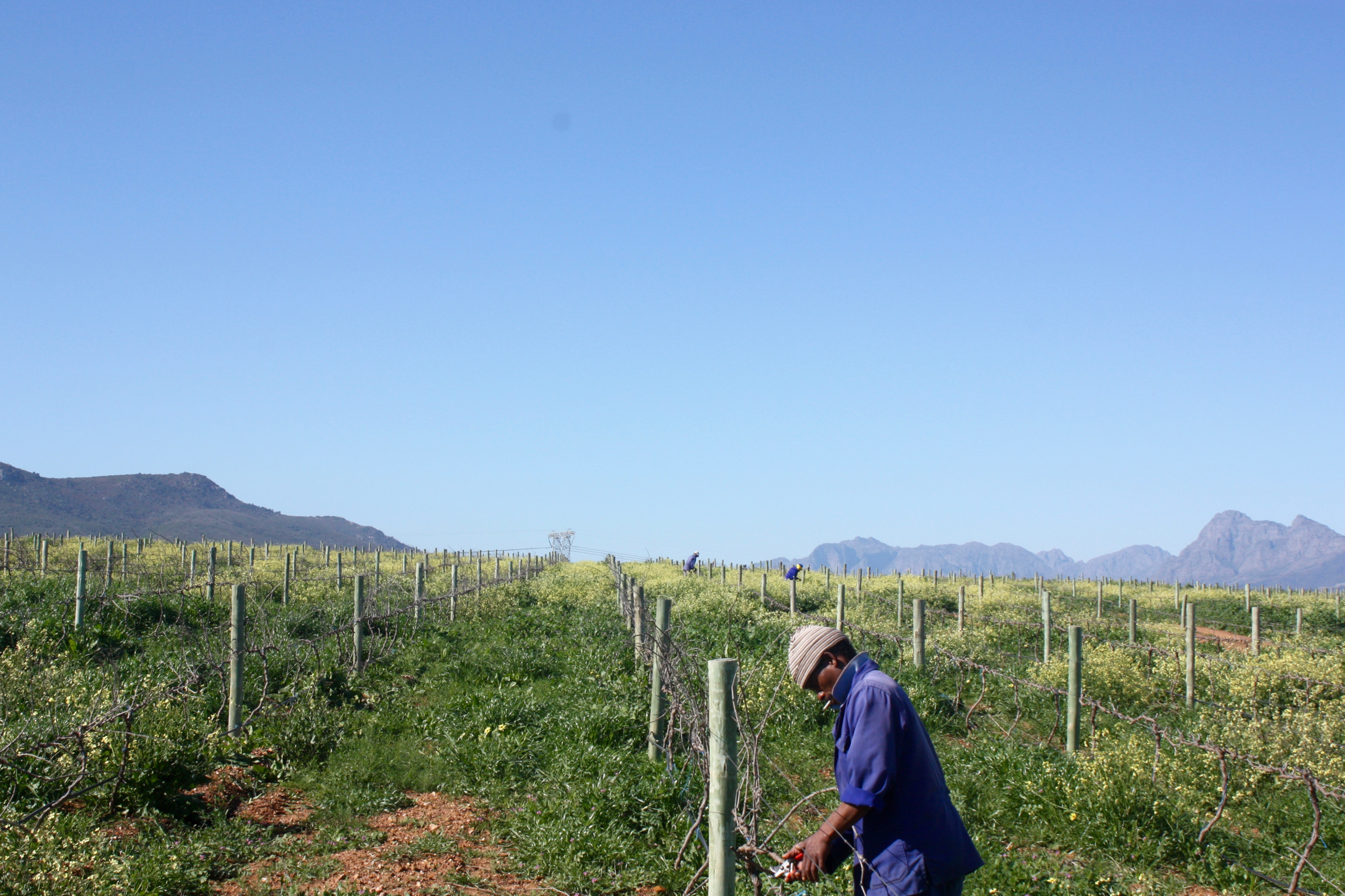 South African growers working on the wine farm