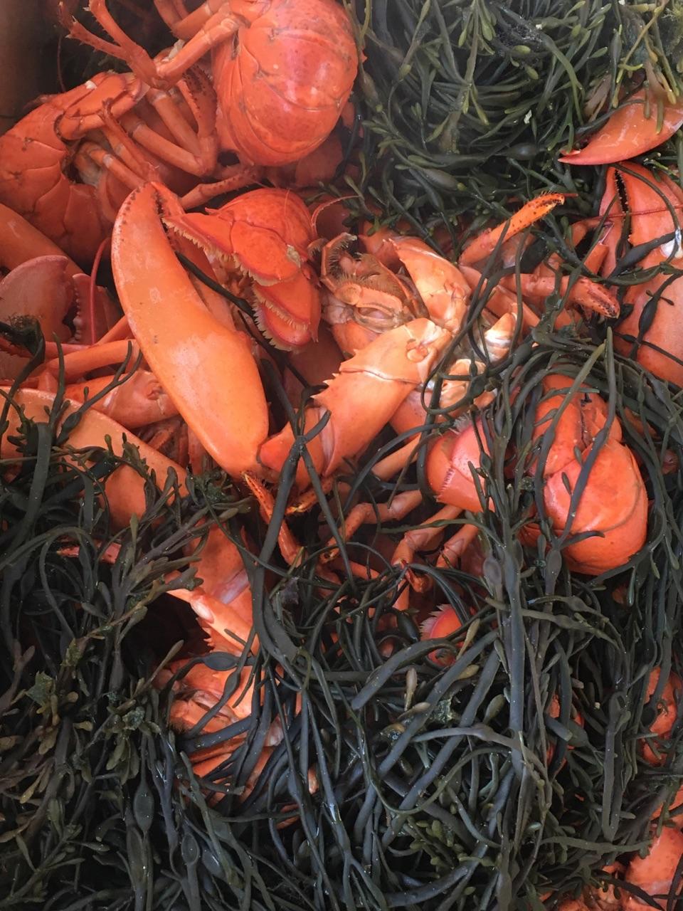 Lobster with seaweed.jpg