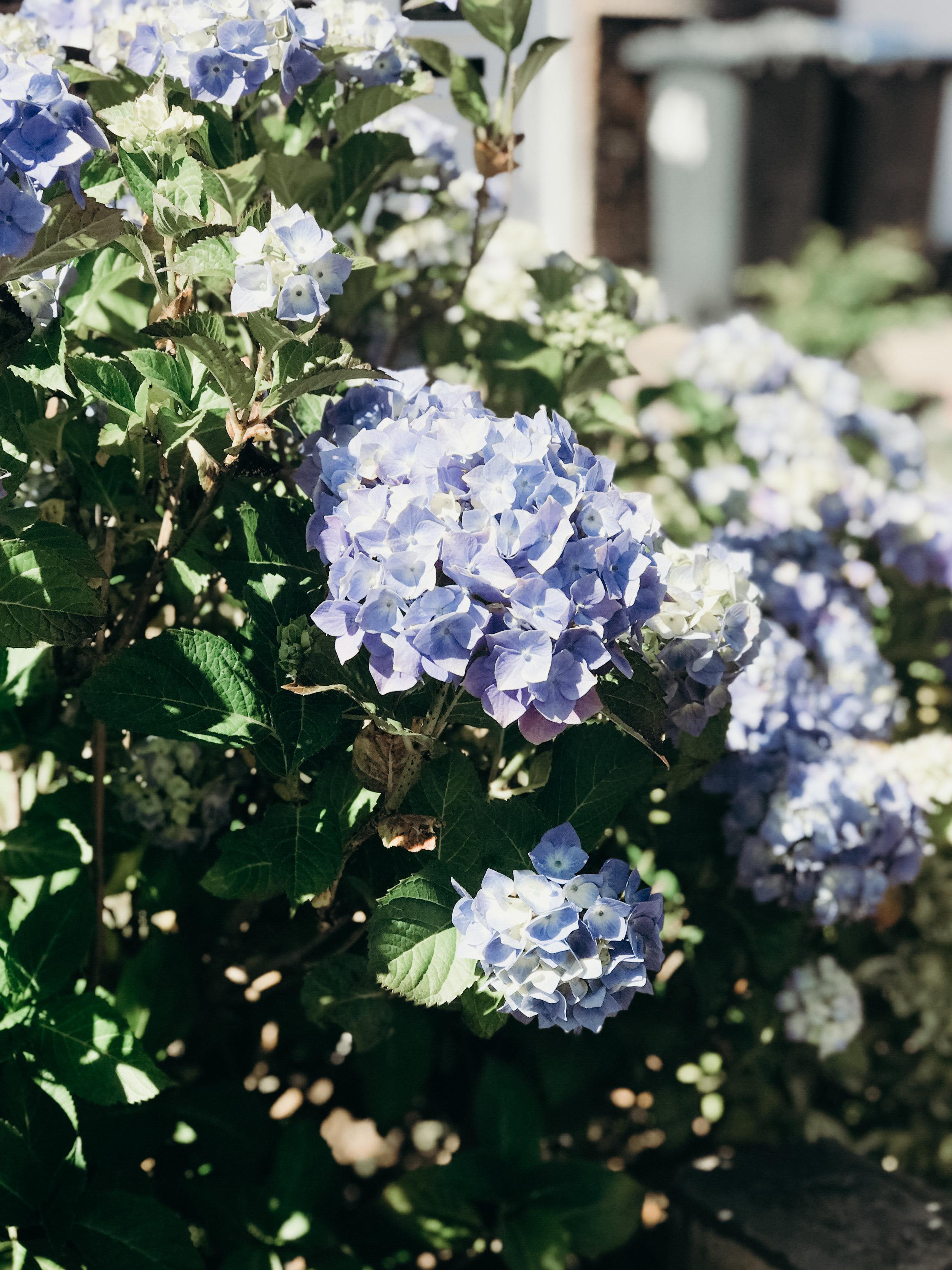 Summer 2018 Highlights - Hydrangeas