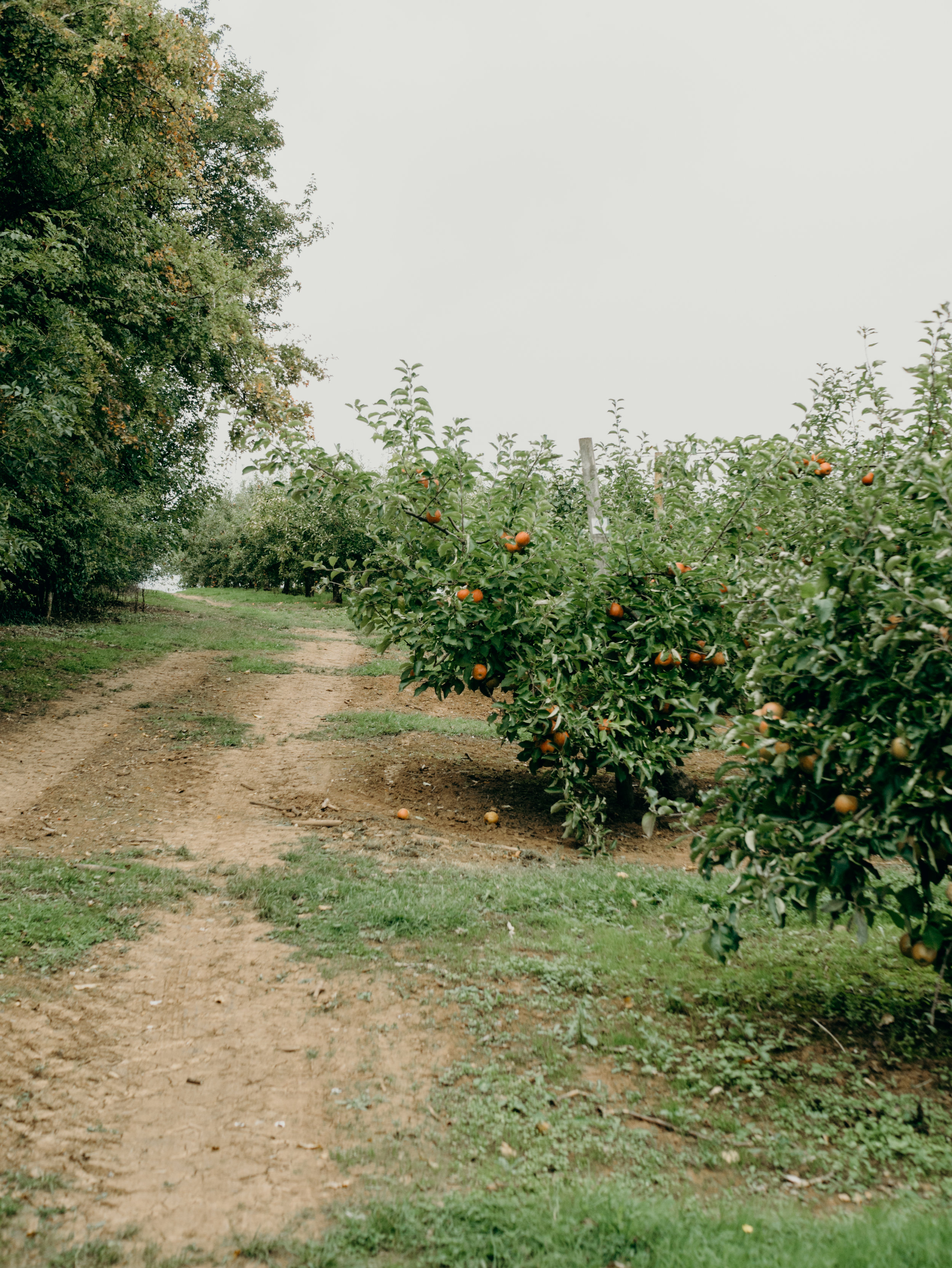 Apple Picking at Clive's Fruit Farm