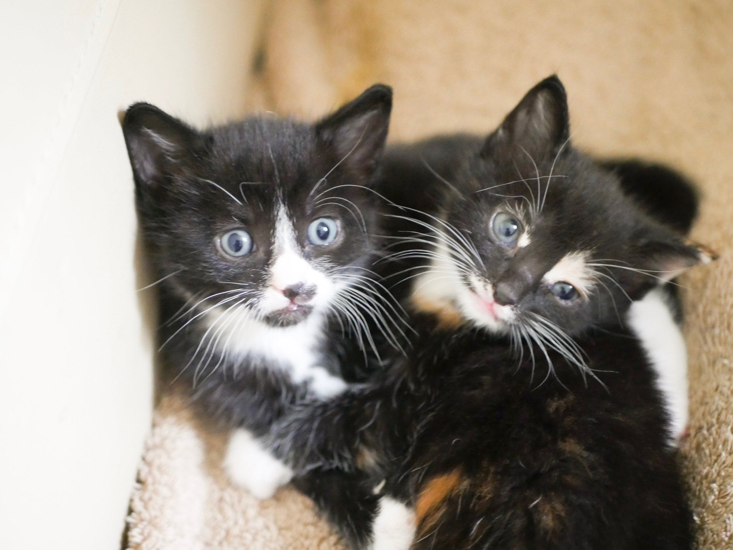 All About the Ragnarok Family - Fostering Kittens for Furbabies