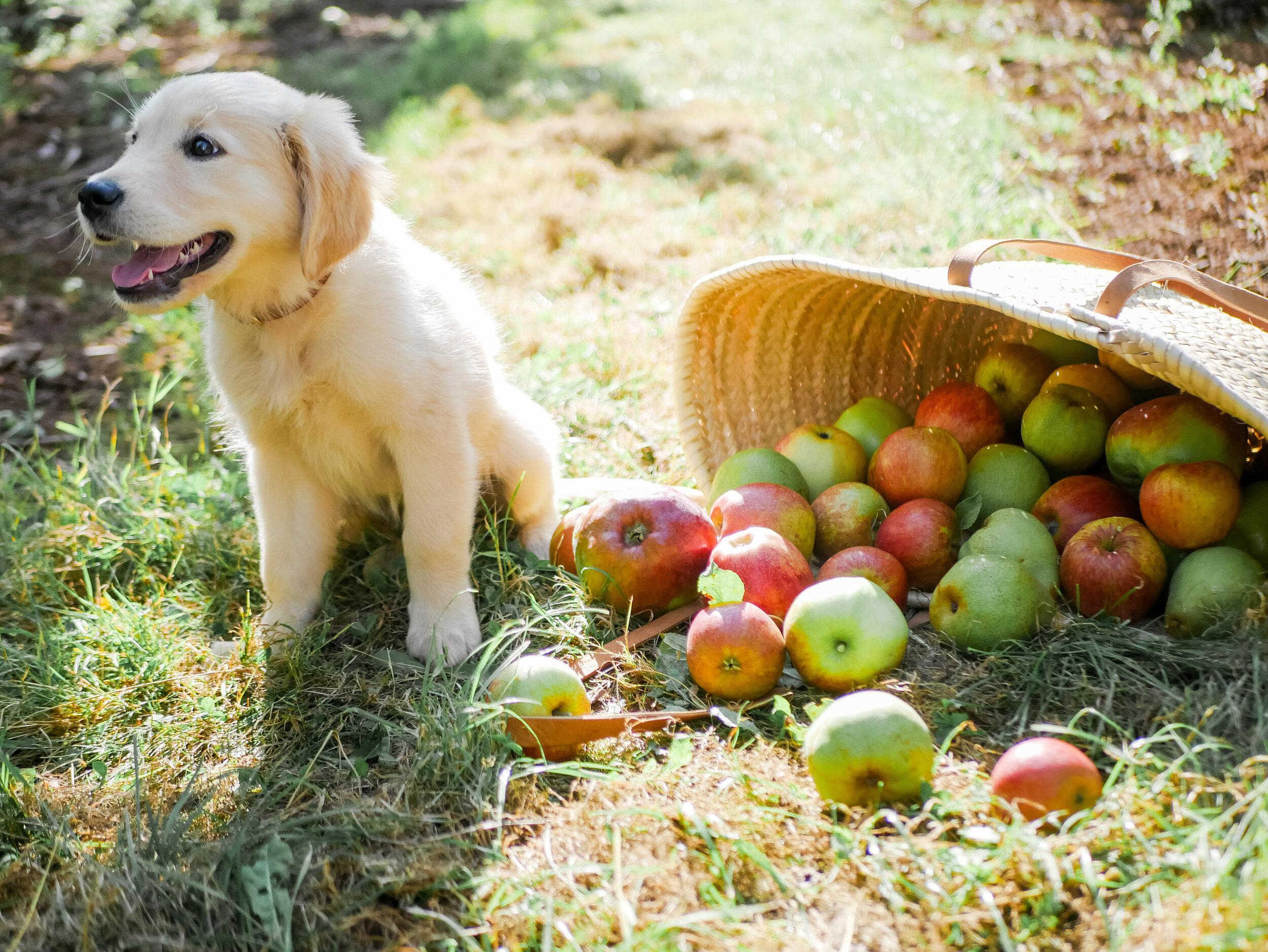 Benny Goes Apple Picking