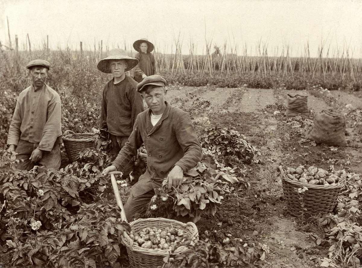 potato-harvest-by-hand