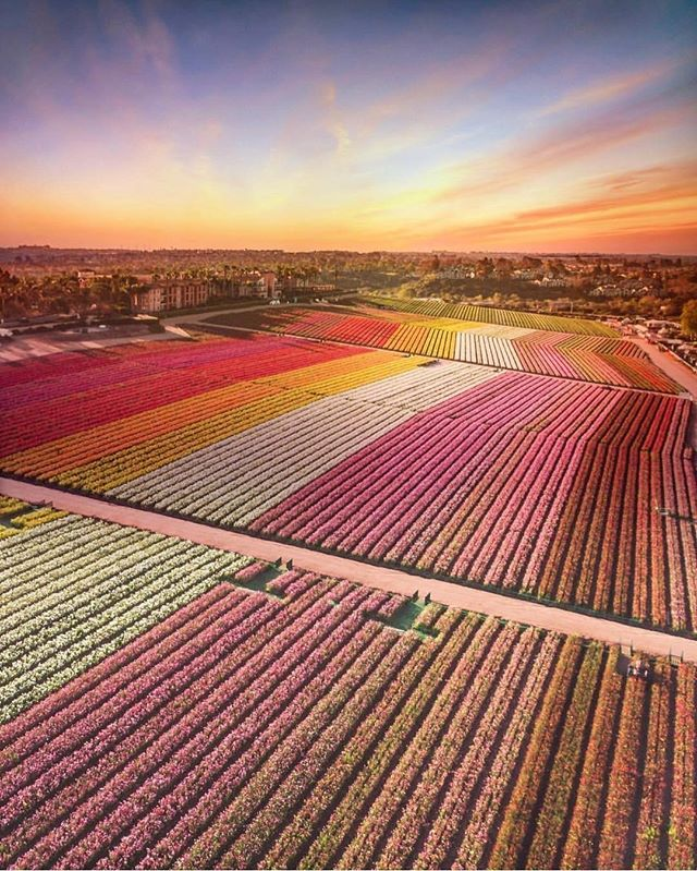 IN AWE 🌸🌸🌸⠀⠀⠀⠀⠀⠀⠀⠀⠀ .⠀⠀⠀⠀⠀⠀⠀⠀⠀ Repost @the_flower_fields⠀⠀⠀⠀⠀⠀⠀⠀⠀ .⠀⠀⠀⠀⠀⠀⠀⠀⠀ The Fields in full bloom look unreal! (📸: @jasonissertell )⠀⠀⠀⠀⠀⠀⠀⠀⠀ .⠀⠀⠀⠀⠀⠀⠀⠀⠀ .⠀⠀⠀⠀⠀⠀⠀⠀⠀ .⠀⠀⠀⠀⠀⠀⠀⠀⠀ #DivineUnwind #SacredSpace #SelfWork #Collaboration #Connection #Growth #SanDiego #HolisticHealth #HolisticWellness