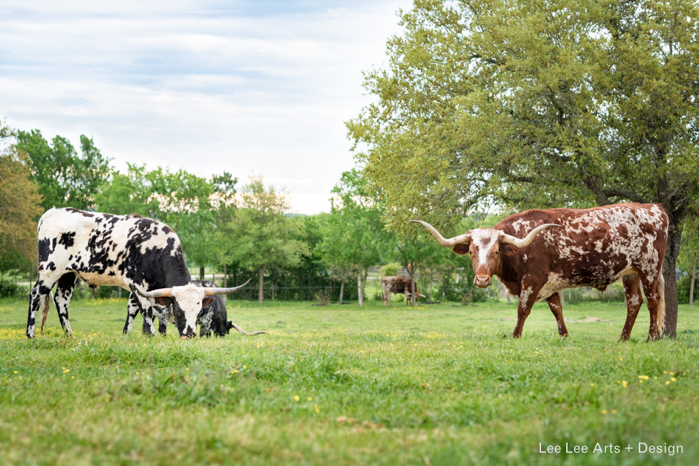 Iconic Texas longhorns are easy to spot during a trip to Round Top  Photo by Ashlee Nobel, Lee Lee Arts + Design