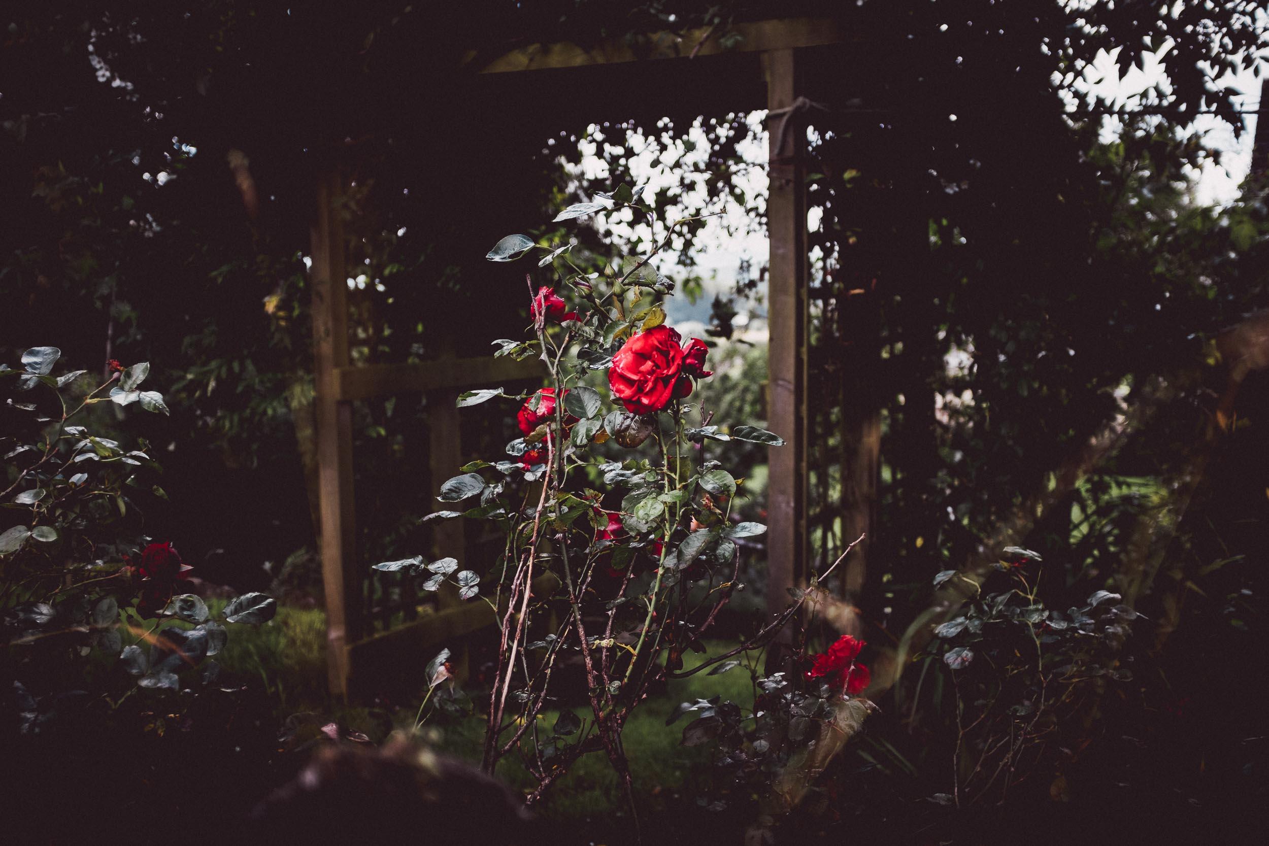 Roses in a strangers garden