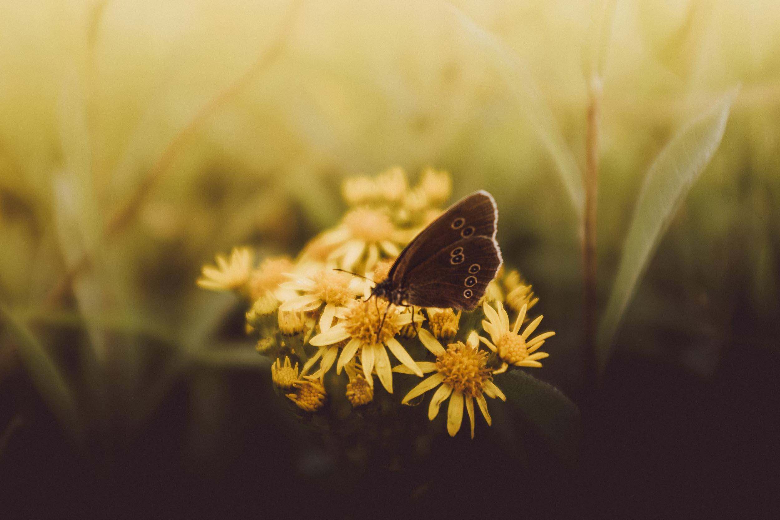 Ringlet Butterfly on Fleabane