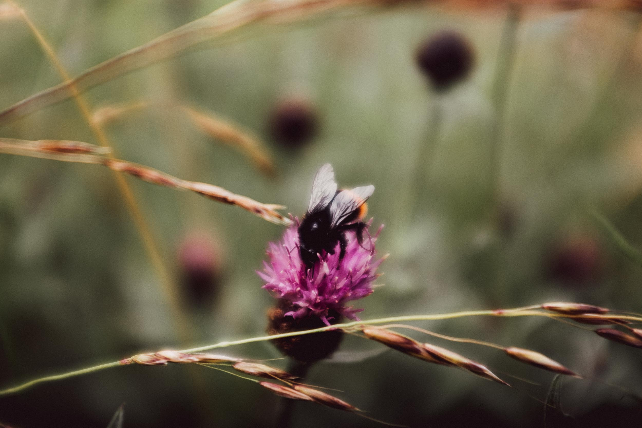 Bee on Creeping Thistle