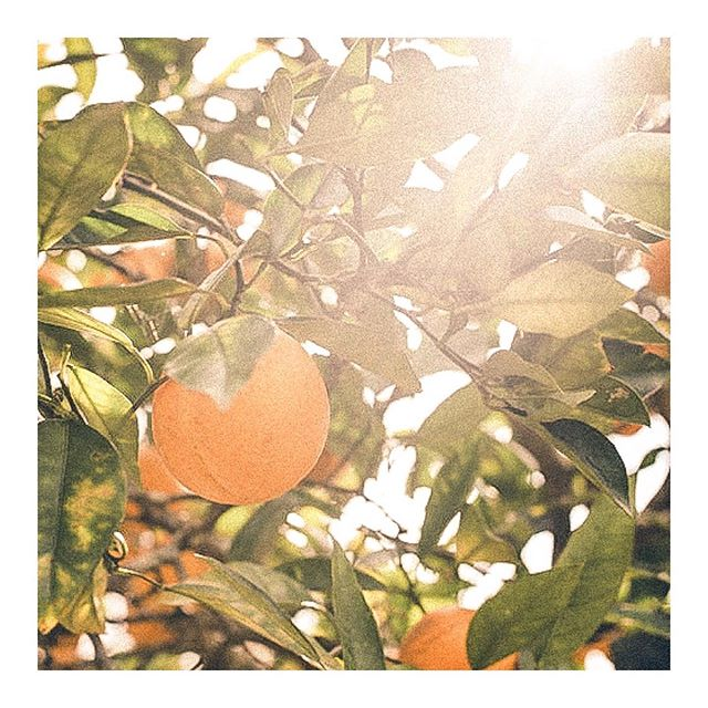Life is just so damn beautiful when we take a moment to stop. And appreciate it. 🍊 : #lifeisbeautiful #naturalliving #organic #fruitoftheday #oranges #naartjie #southafricanfruit #southafrica #southafricanfood #umngazi #umngazana #orangetree #naturallight #sunrise #lifestylelover #africaphotographer #travellinglife #travelsinafrica #naturelovers #transkei #wildcoast #naturist #africatravel #easterncape #theafricanrose