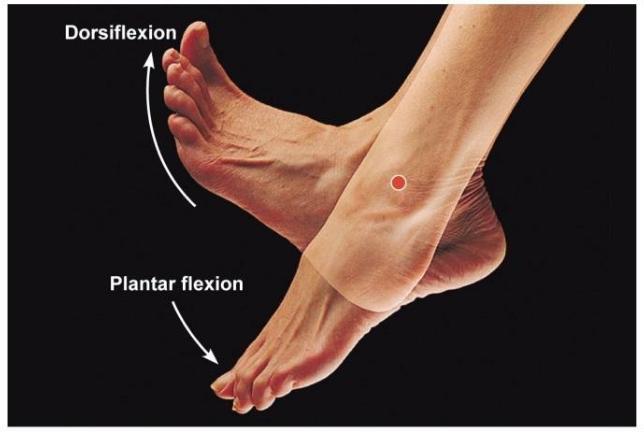 dorsi & Plantar flexion.png
