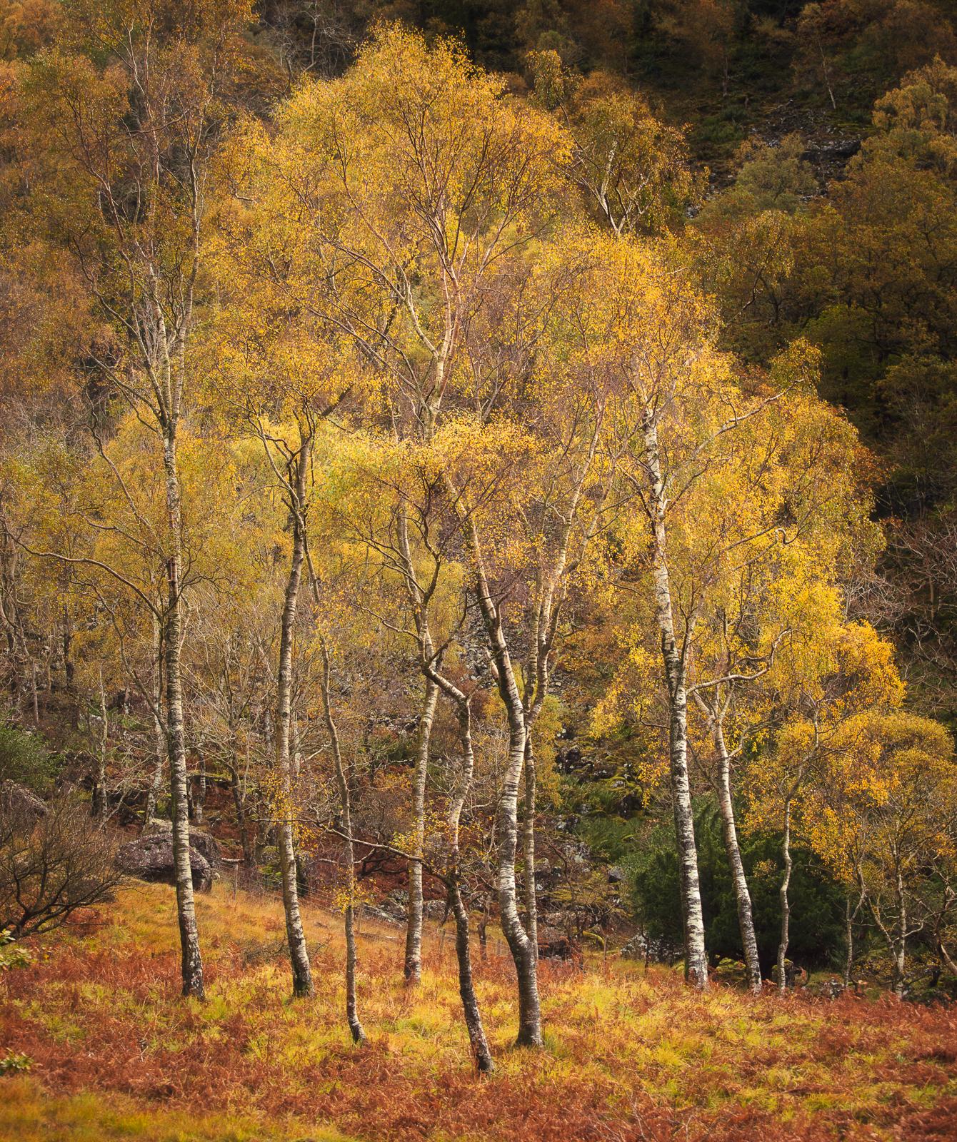 Bowder Birches