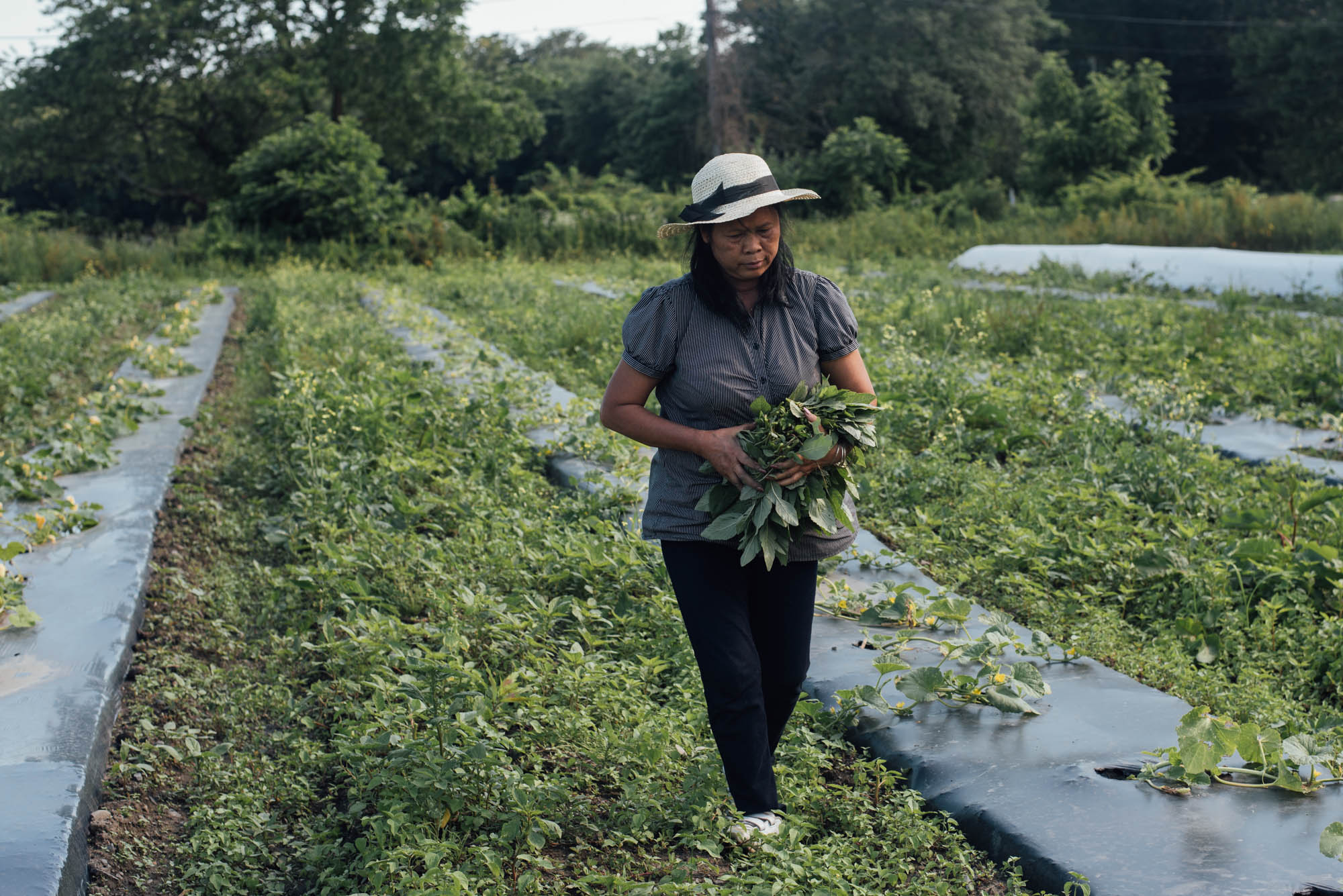 Saroeup Voeul picks wild amaranth leaves at Movement Ground Farm in Tiverton, Rhode Island. She recognizes the leaves from her childhood in Cambodia. Photo by Ash Ngu.
