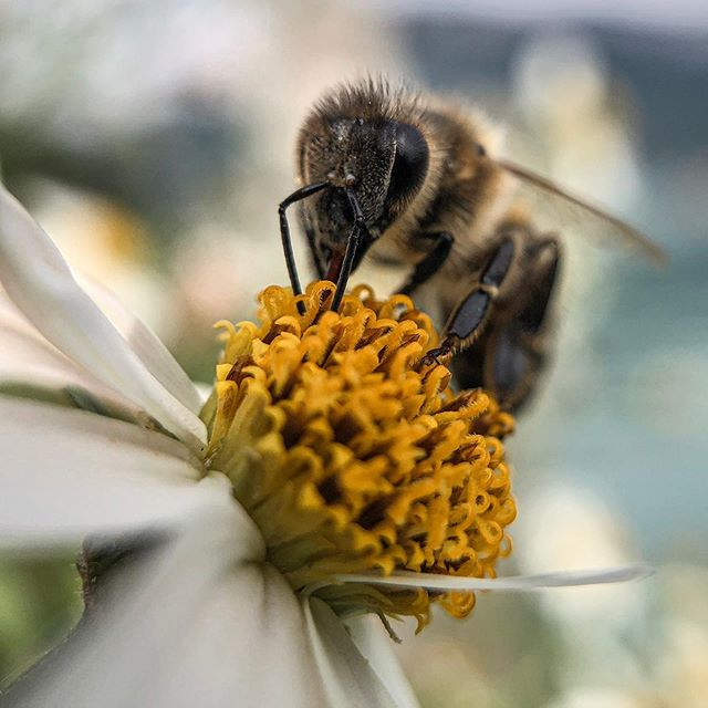 Busy little bee 📸 Tatt med Macro-linse på mobilen fra @fotomobil.no #fotomobilno • •  #macro #macrophotography #mobilfoto #mobilfotografene #blomster #veps #makrofoto #natur #insekt